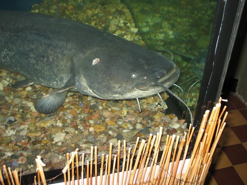 Obří akvária - sumec